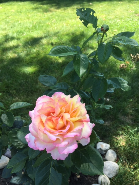 "This hybrid tea rose is named ""Peace."" I bought and planted it in my yard during the riots following the death of George Floyd."