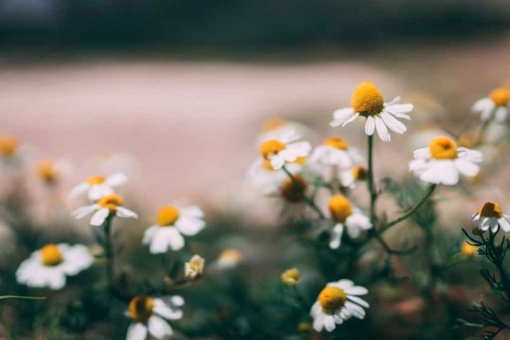 Some say daisies are a symbol of new beginnings.