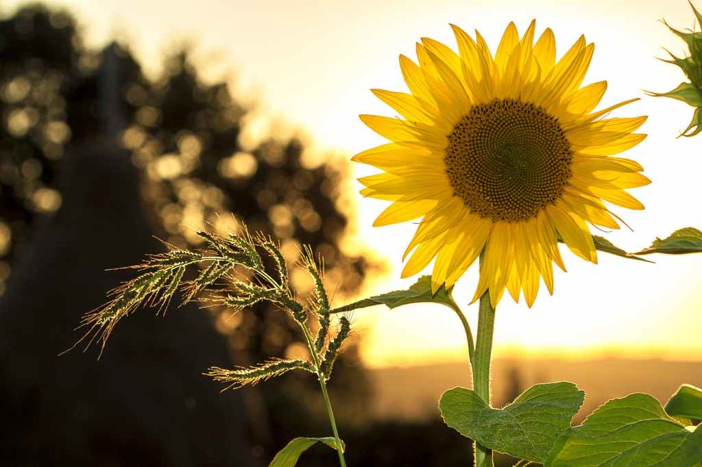 Some feel the sunflower is a symbol of hope, happiness and renewal.